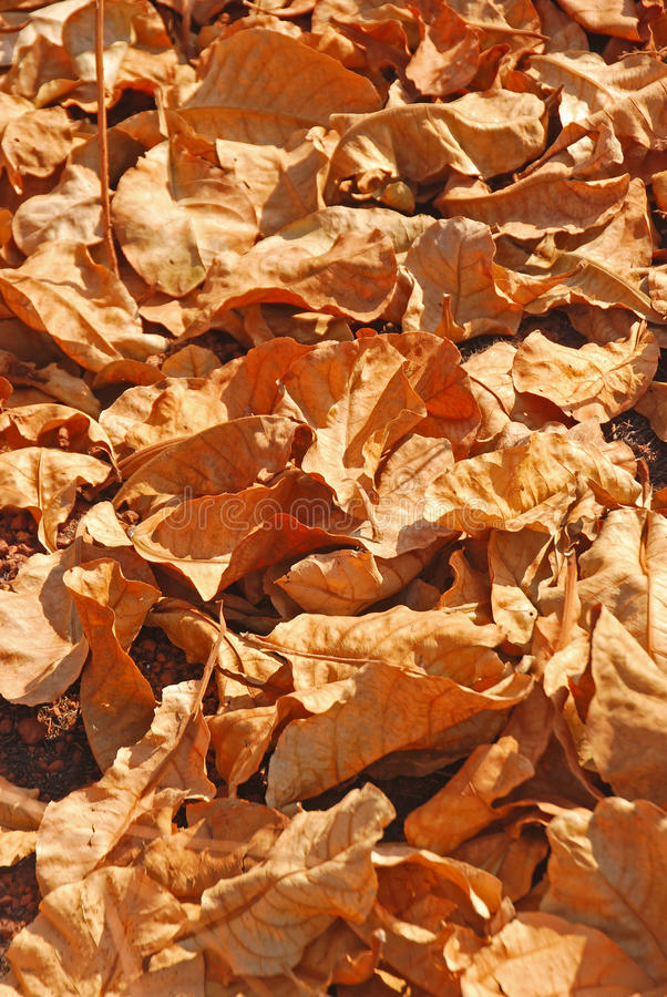 A Big Pile of Dry Brown Leaves. At Goa India outside Fort Aguada stock photo