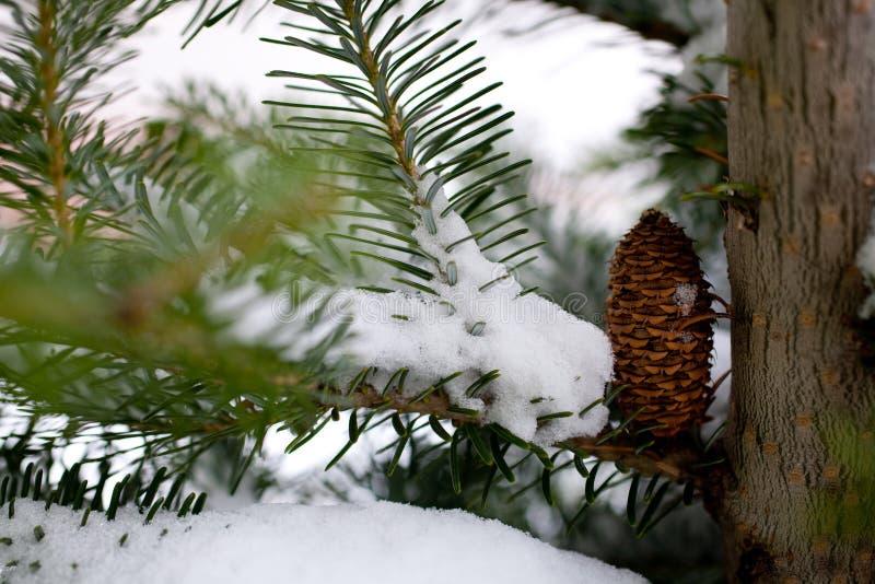 Download Big Pine Cone stock image. Image of pure, scenes, scenery - 11711823