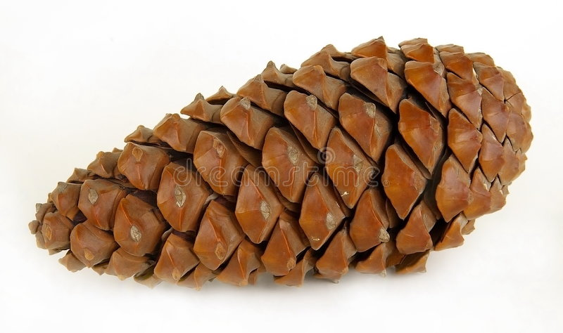 Big pine cone. On a white background royalty free stock photography