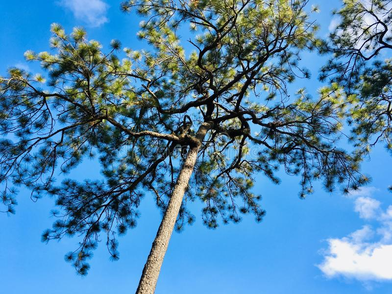 Big Pine tree on blue sky and cloud royalty free stock photo