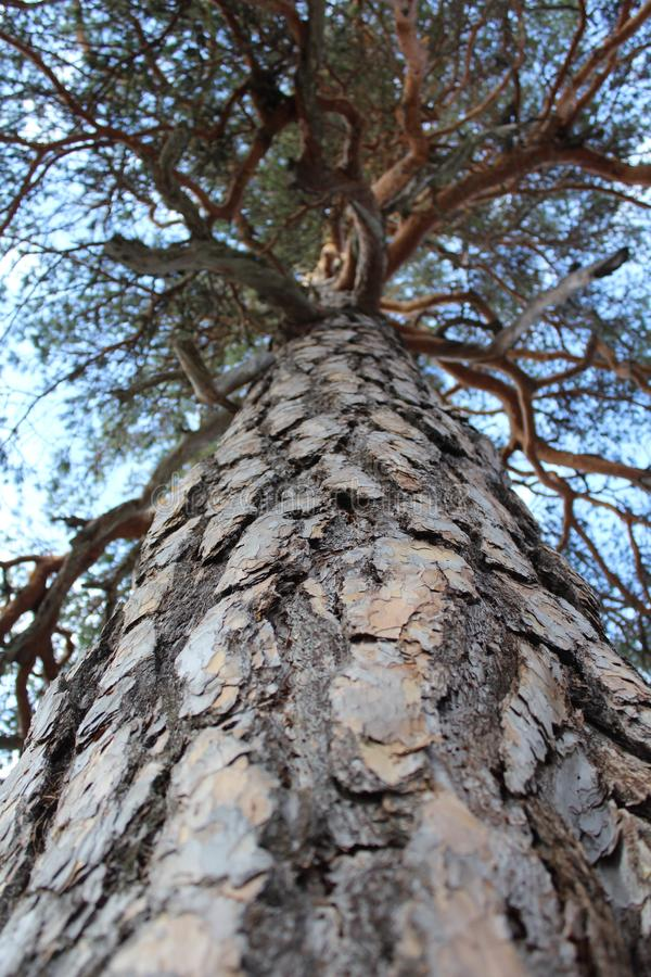A big pine tree from a low perspective. A big pine tree, with a coarse bark in a the norwegian forest, from a low perspective stock images