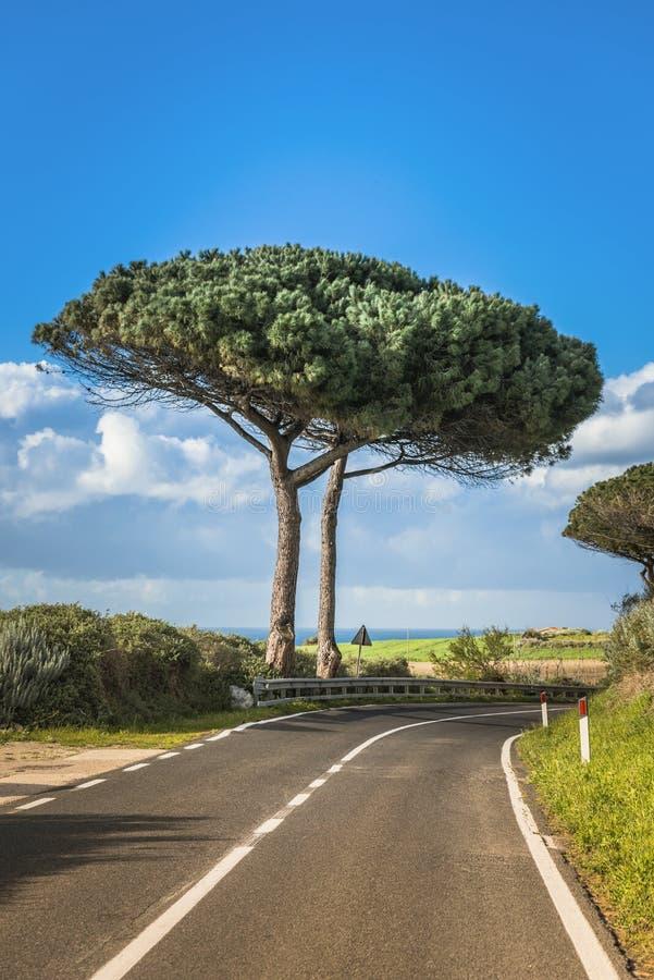 Big pine trees on sardinia island stock photos