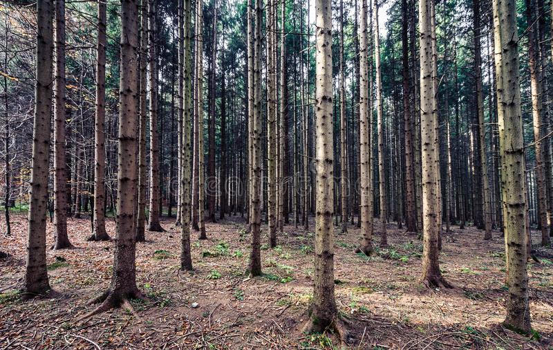 Big pine trees woods or forest in Slovenia. stock image
