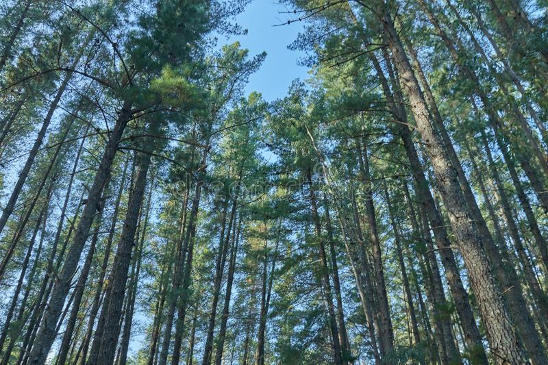 Big pines in autumn with blue sky. Looking up stock images