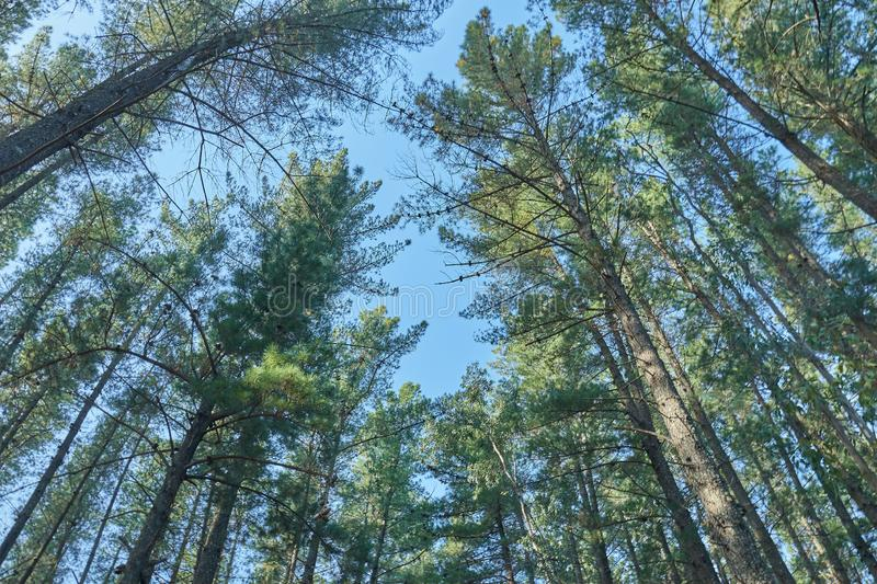 Big pines in autumn with blue sky. Looking up royalty free stock images