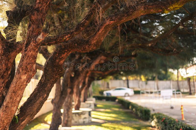 Big pines planted in parks. Big pines planted in parks in thailand stock photo