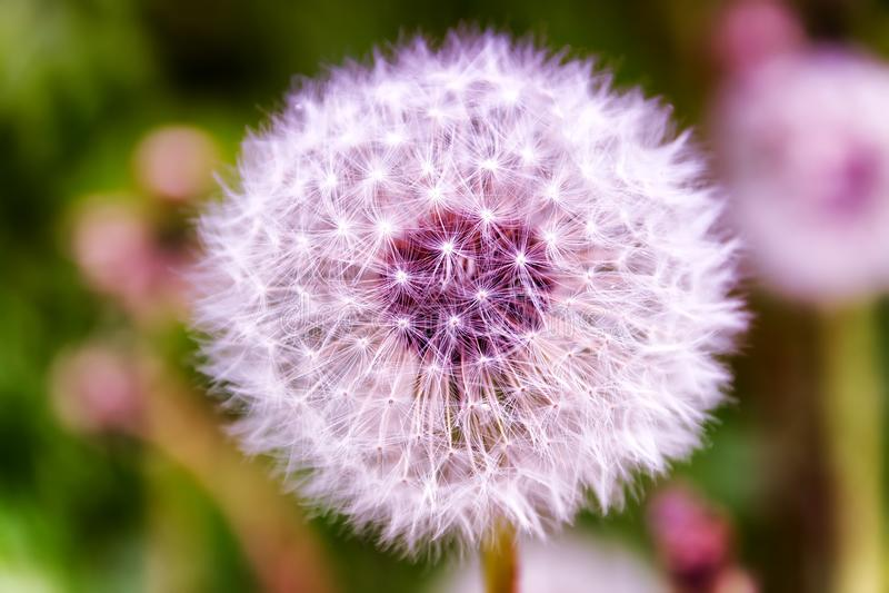 Big pink dandelion. Summer. Sun royalty free stock photos