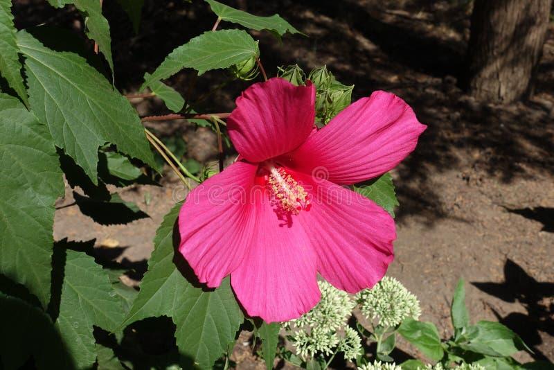 Big pink flower of Hibiscus moscheutos. In August stock photo