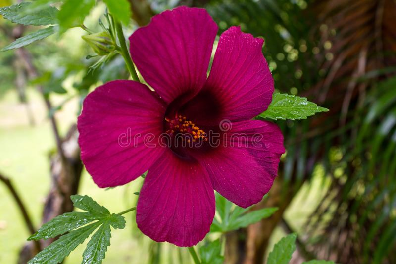 Violet flower in. Big pink flower in my garden little garden royalty free stock images