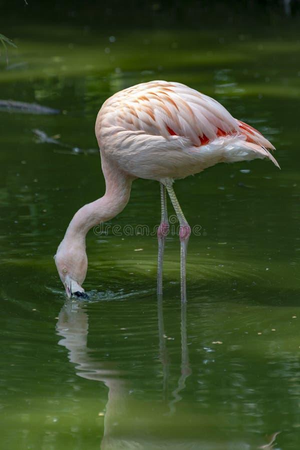 Pink framingo bird close up stock photography