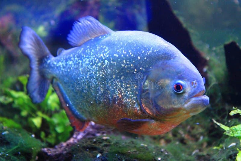 Big piranha fish. As danger in nature royalty free stock photos