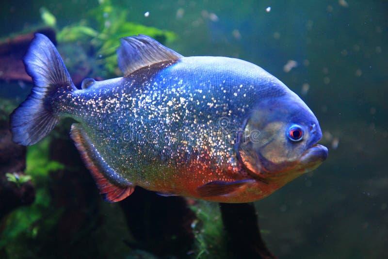 Big piranha fish. As danger in nature stock image