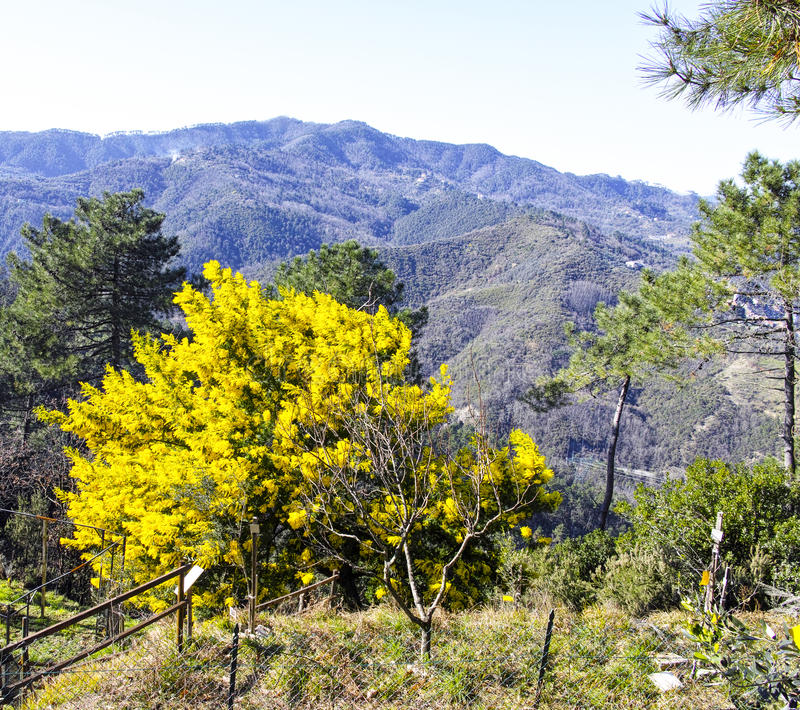 Big plant of mimosa. Big yellow plant of mimosa in a meadow stock photos