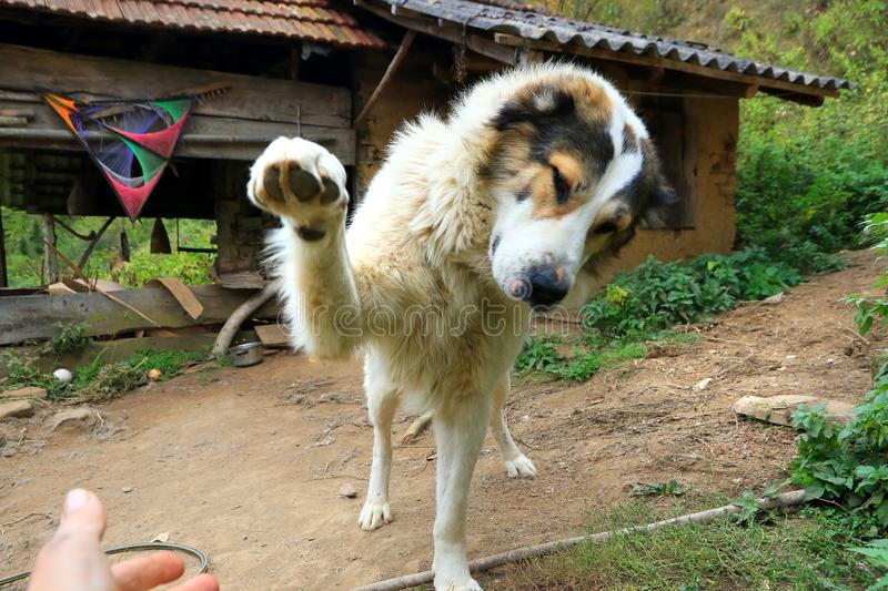 Playful Mountain dog extending his paws stock photo