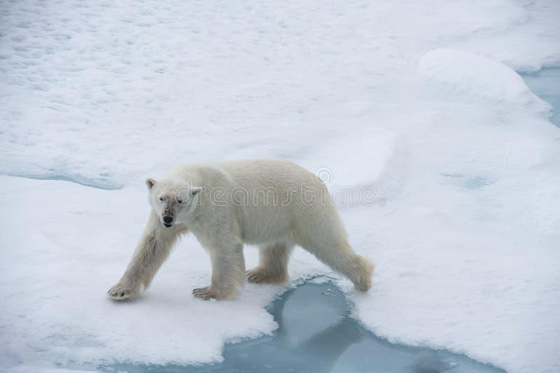 Big polar bear on drift ice edge . Big polar bear on drift ice edge with snow a water in Arctic North Pole royalty free stock images