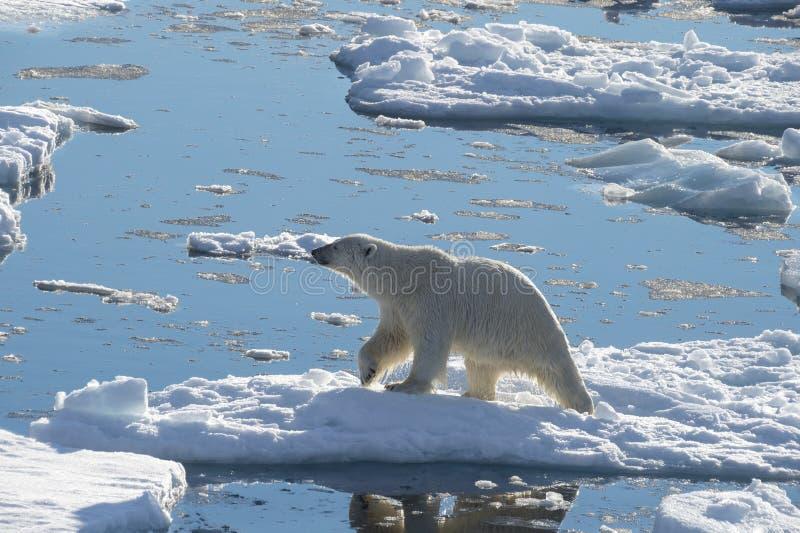 Big polar bear on drift ice edge . Big polar bear on drift ice edge with snow a water in Arctic North Pole stock photos
