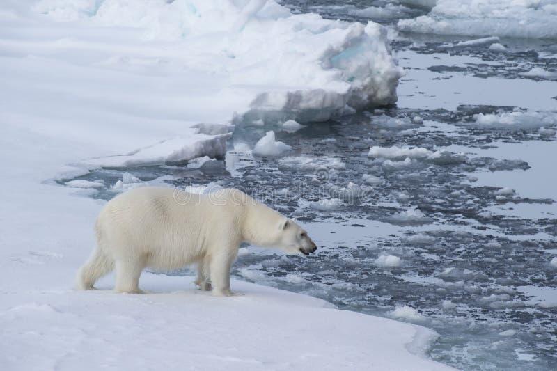 Big polar bear on drift ice edge . Big polar bear on drift ice edge with snow a water in Arctic North Pole royalty free stock photo