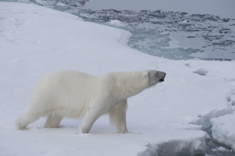 Big polar bear on drift ice edge . Big polar bear on drift ice edge with snow a water in Arctic North Pole stock image