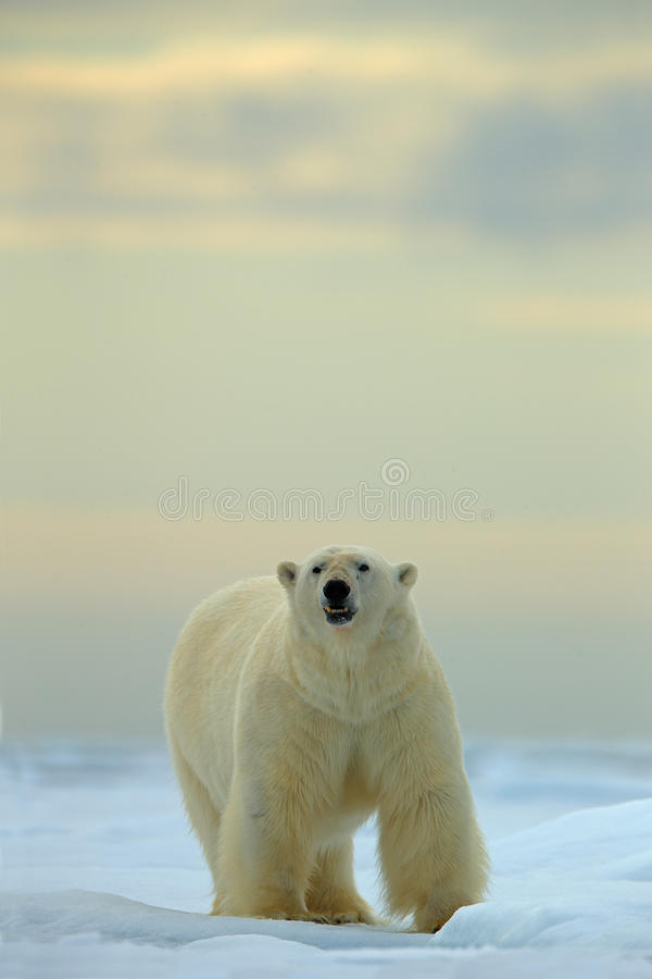 Big polar bear on drift ice with snow in Arctic Svalbard. Norway, wildlife stock photo