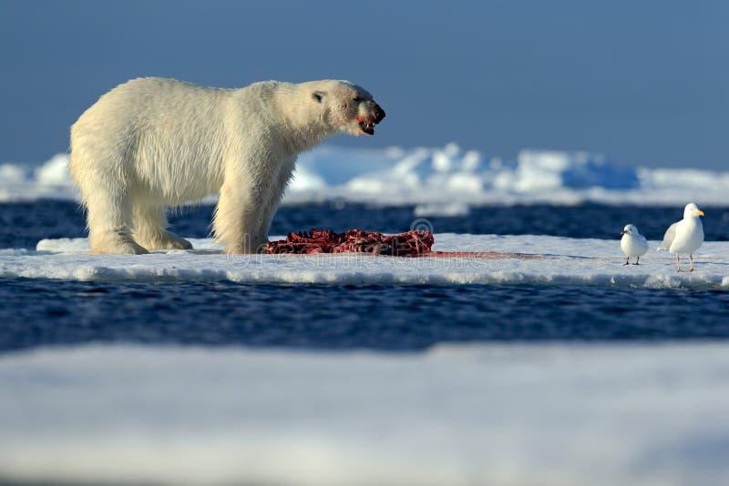 Big polar bear on drift ice with snow feeding kill seal, skeleton and blood, Svalbard, Norway. Big polar bear on drift ice with snow feeding kill seal royalty free stock photography