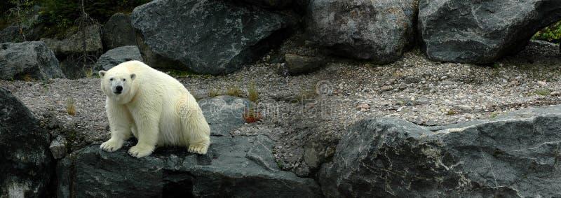 Big polar bear sitting royalty free stock photography