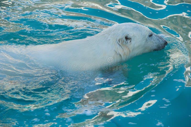 Big polar bear is swimming in the water. Ursus maritimus or Thalarctos Maritimus royalty free stock photography