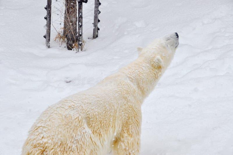 Big polar bear is walking in its cage in Asahiyama zoo in Sapporo, Hokkaido Japan January 2, 2018 royalty free stock images