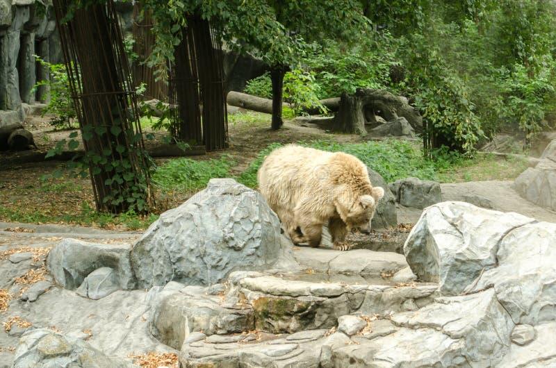 Big polar bear walking at the Zoo in Kiev stock images