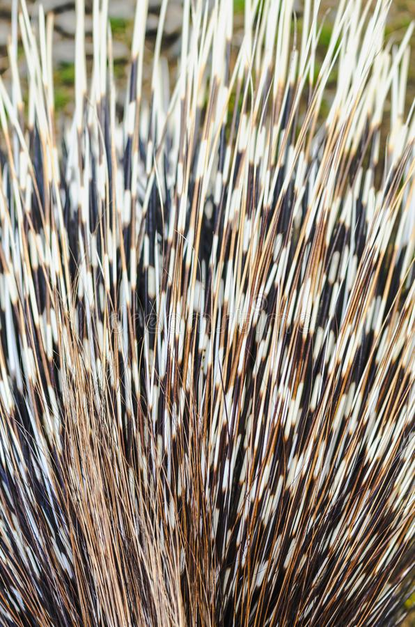 Big porcupine quills. Close up royalty free stock photos