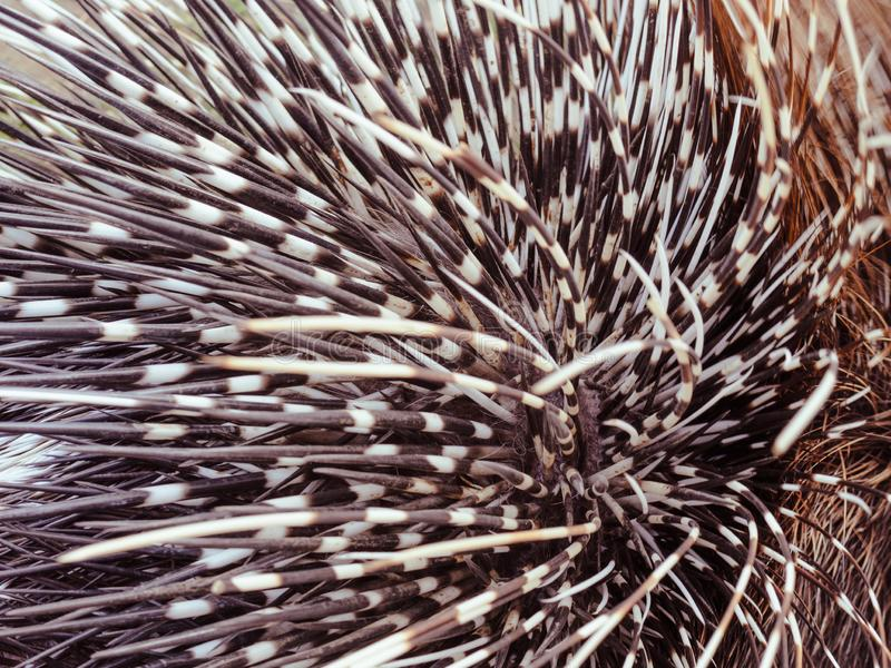 Big porcupine quills. Close up stock image
