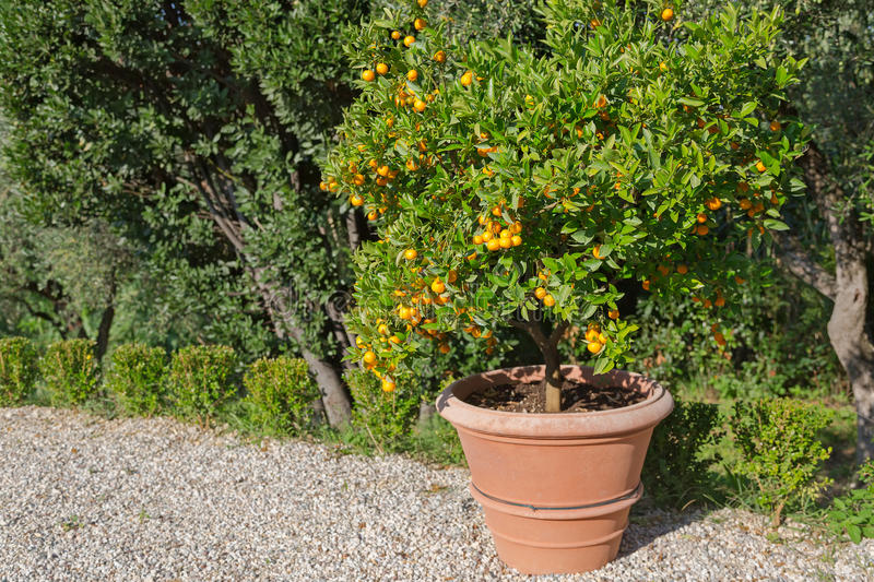 Big pot of tangerine tree and orange colored citrus fruit in gar royalty free stock photography
