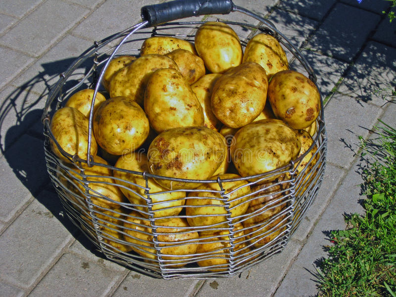 Download Big potato stock photo. Image of autumn, aluminum, country - 26603516