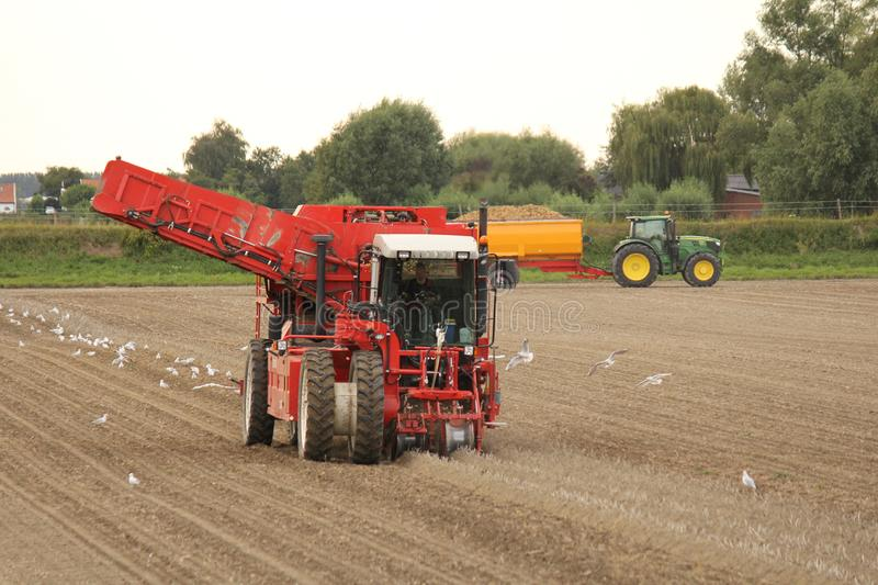 A big potato harvester in the dutch countryside with seagull behind the machine. A big red potato harvester is harvesting potatoes in zeeland, the netherlands stock images