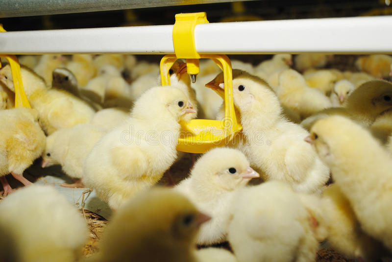 Big poultry rearing farm royalty free stock photography