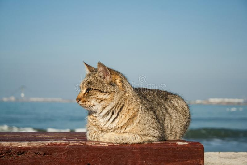 Big powerful beautiful gray cat sitting on the bench. in the background is the sea. stock photos