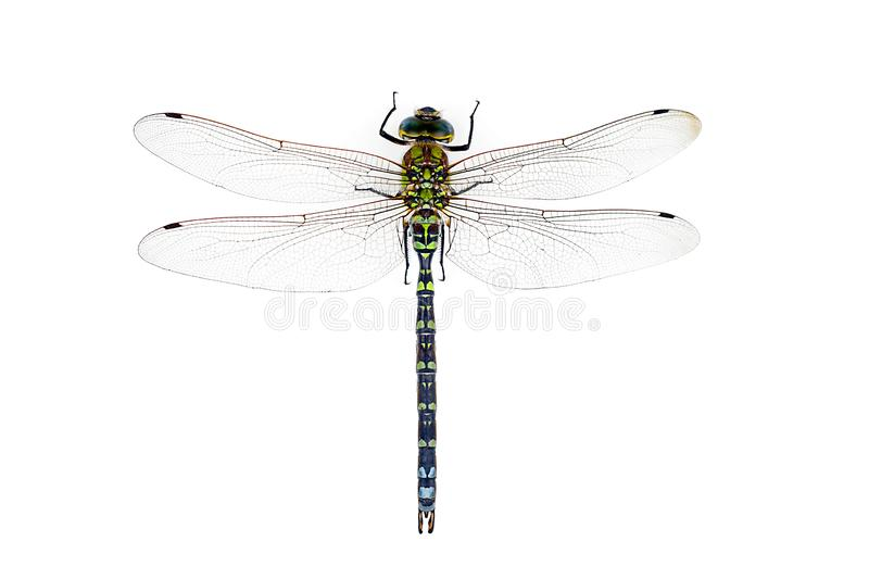 A big and pretty dragonfly, Aeshna cyanea, on white ground stock images