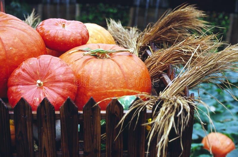 Big pumpkins royalty free stock images