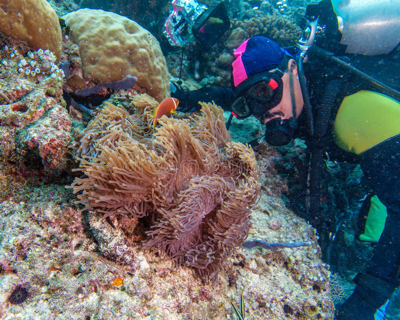 Big Purple Anemone and Scuba Diver stock photos
