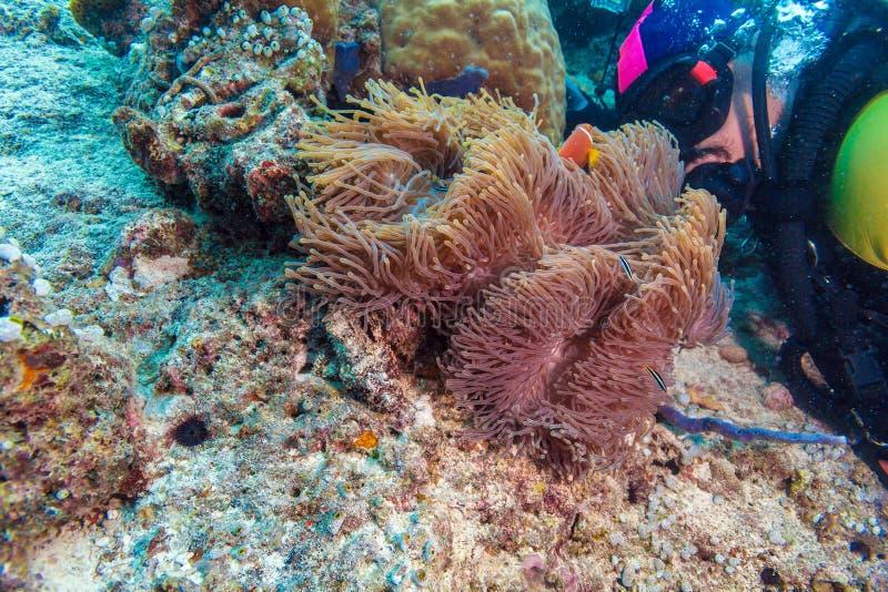 Big Purple Anemone and Scuba Diver stock photo