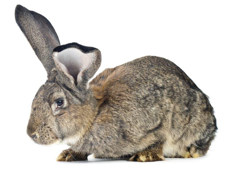 Big rabbit stock photo