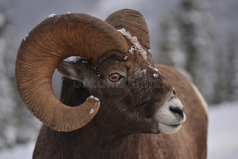 Big ram royalty free stock image