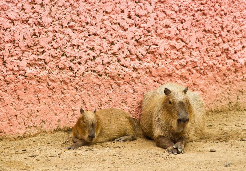 Download Big rat stock image. Image of wildlife, nature, beast - 25248755