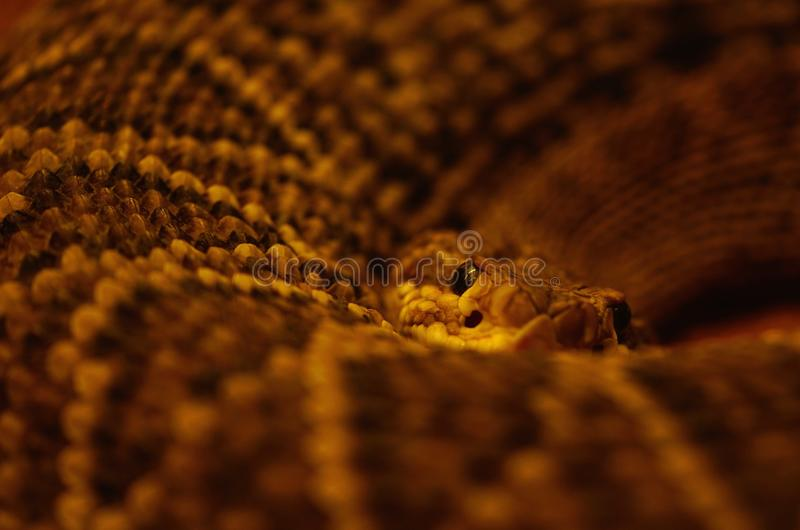 Big rattle snake royalty free stock photography