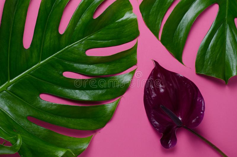 Big real monstera leaves on a pink background. Tropical theme background in a trendy minimalist style. stock photo