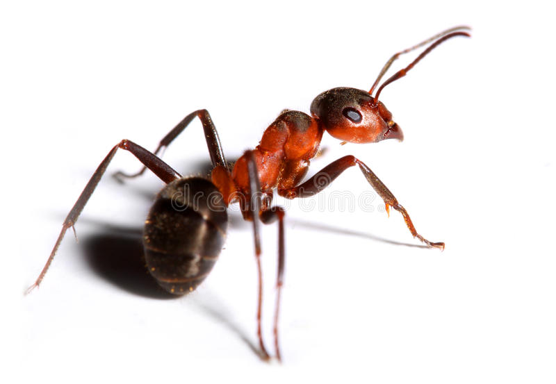 Big red ant. Big red ant isolated on white background royalty free stock photo