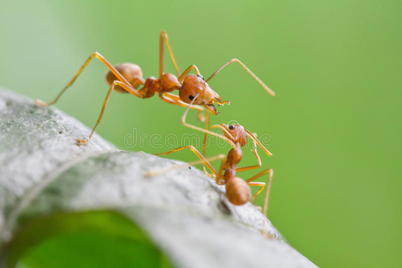 Big red ant intimidating the small. On leaf royalty free stock photos