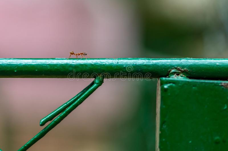 Big red ant kill the smaller black ant and bring it to eat. Ant is walking on fence. Space for text stock images
