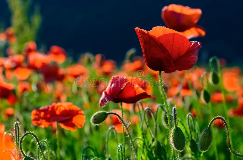 Big red blossoming poppy flower in the field royalty free stock image