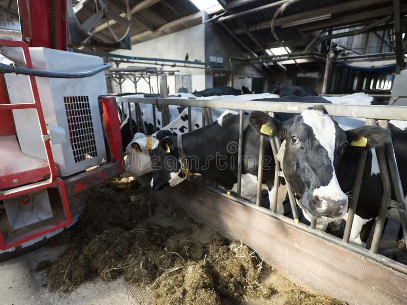 Big red feeding robot and black and white spotted cows in barn on dutch farm in holland. Big red feeding robot and black and white spotted cows in barn on dutch royalty free stock images