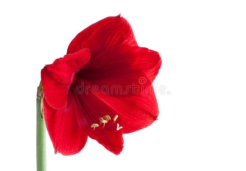 Download Big red flower 3 stock photo. Image of close, bright - 13940054